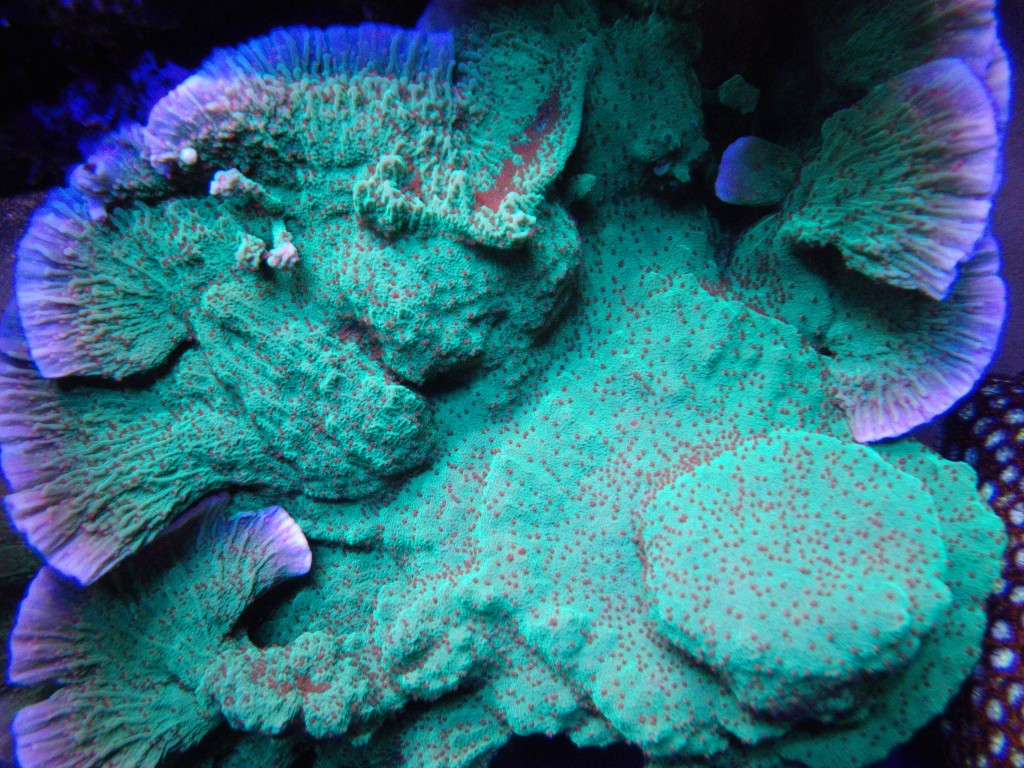 SPS-Corals Under LED - After