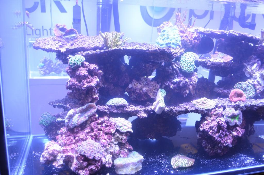 在大西洋v2-1 orphek macna 2014珊瑚
