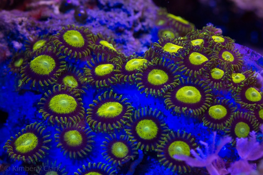rouge jaune zoanthid corail