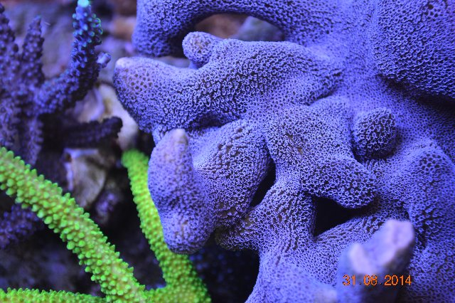Orphek UK Reef Aquarium 1 tahun 4 bulan