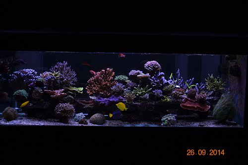 Tahun Orphek UK Reef LED akuarium 1 dan 5 bulan