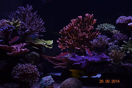 Orphek corals color UK Reef LED aquarium 1 year and 5 month