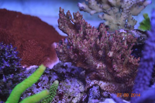 warna-warna coral UK Reef LED aquarium 1 year and 5 month