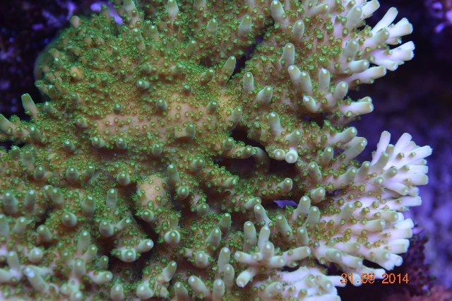 corals groth Reef Aquarium 1 month 4 month