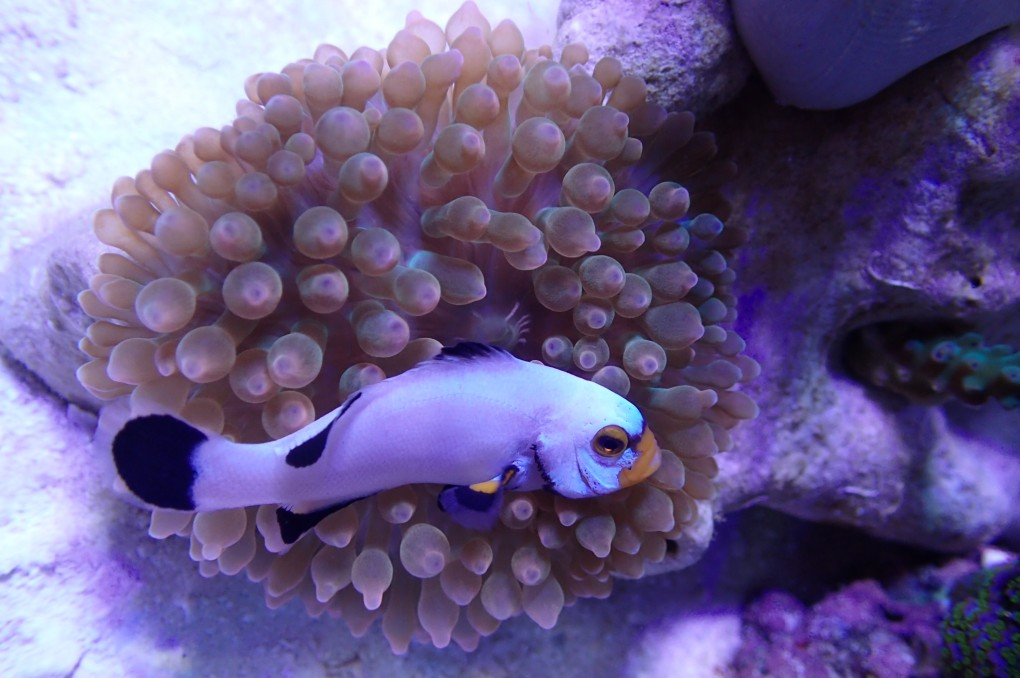 coral-photo-clown-fish