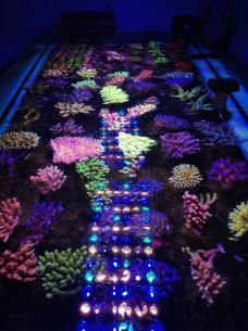 corals-frag-orpehk-atlantik