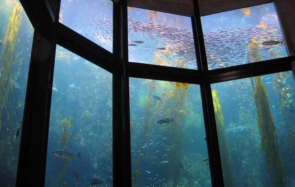 monterey_bay_aquarium_kelp_forest