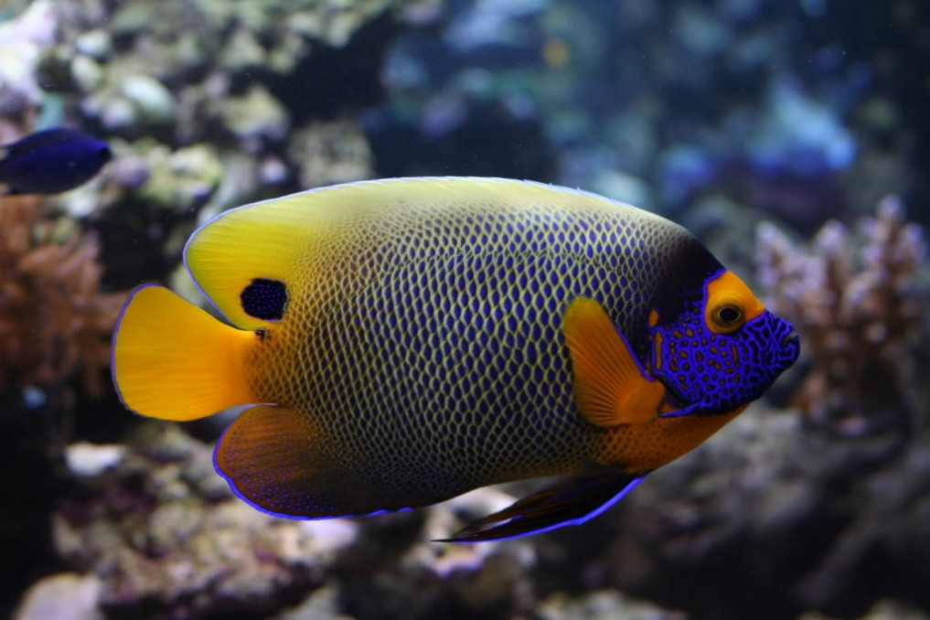 most expensive saltwater fish