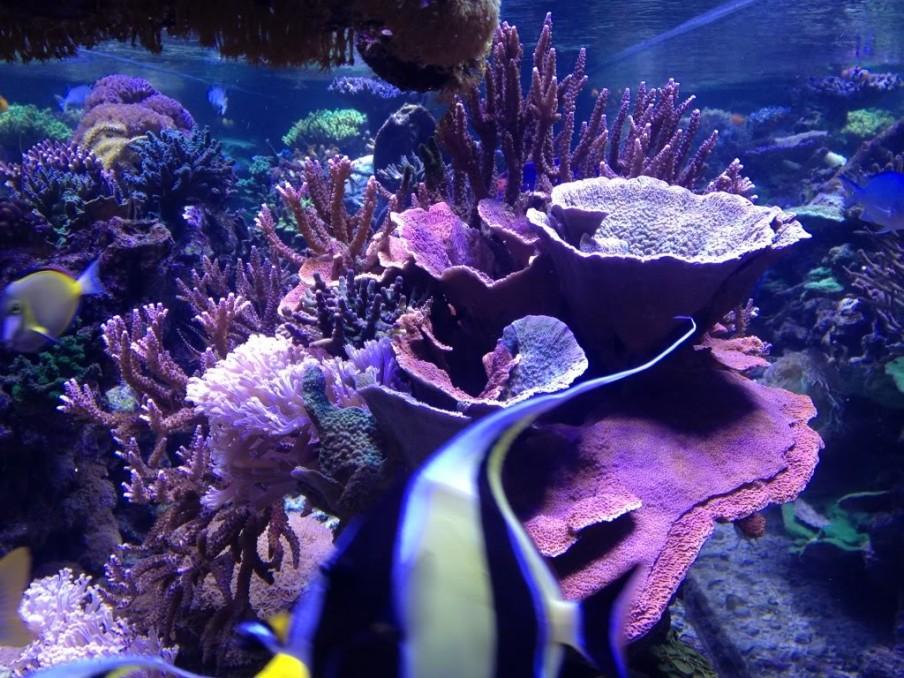 SPS-аквариума кораллы