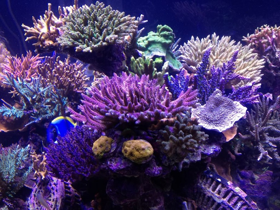 sps-reef-aquarium-LED-orphek