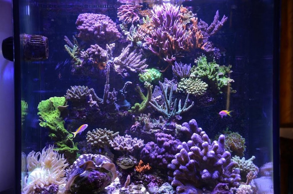 3-months-Later -3X-Reef-Aquarium-உடன் Orphek_Atlantik-v4.1.15