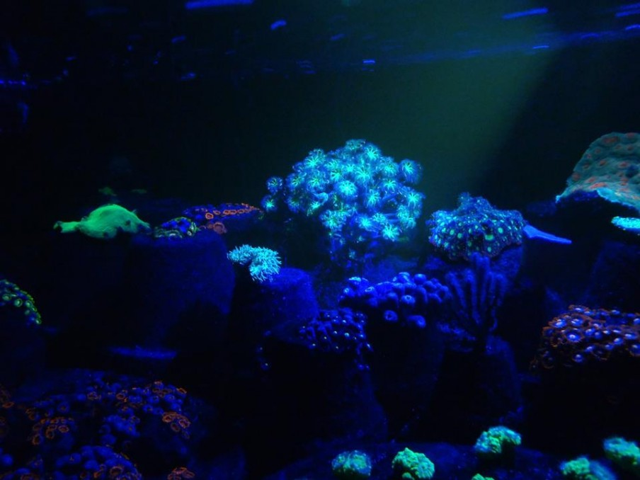 Libélula Corais-coral-fazendas liderada orphek-lighting-e