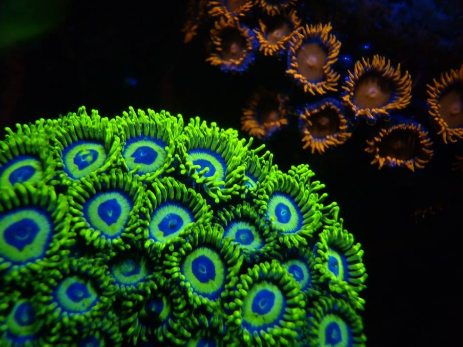 Orphek LED lighting and Coral Farms : REEF2REEF Saltwater and Reef Aquarium Forum