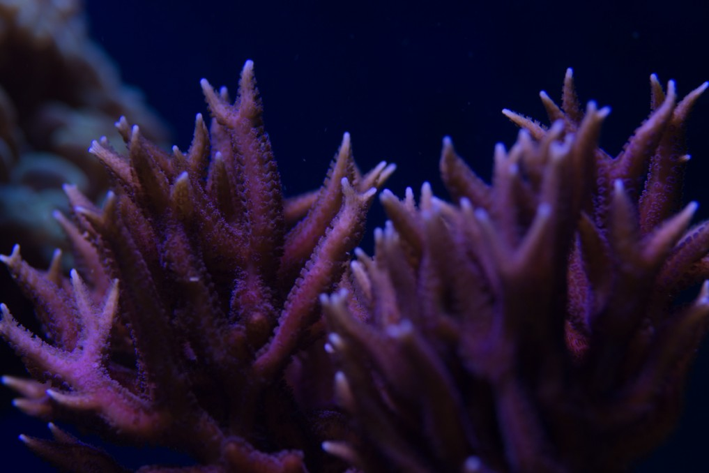 corals under orphek led - Frode's Reef Aquarium story