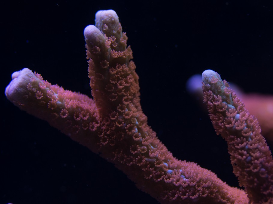 montipora_digita_ fire_forest_ κοράλλια