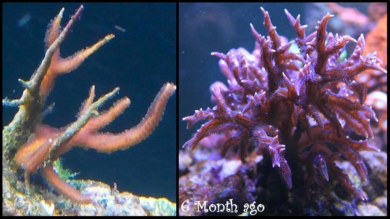 sps-corals-6-month