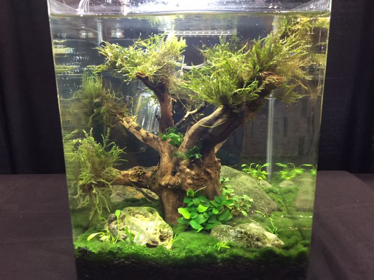 -aquascaping bertanding (5)
