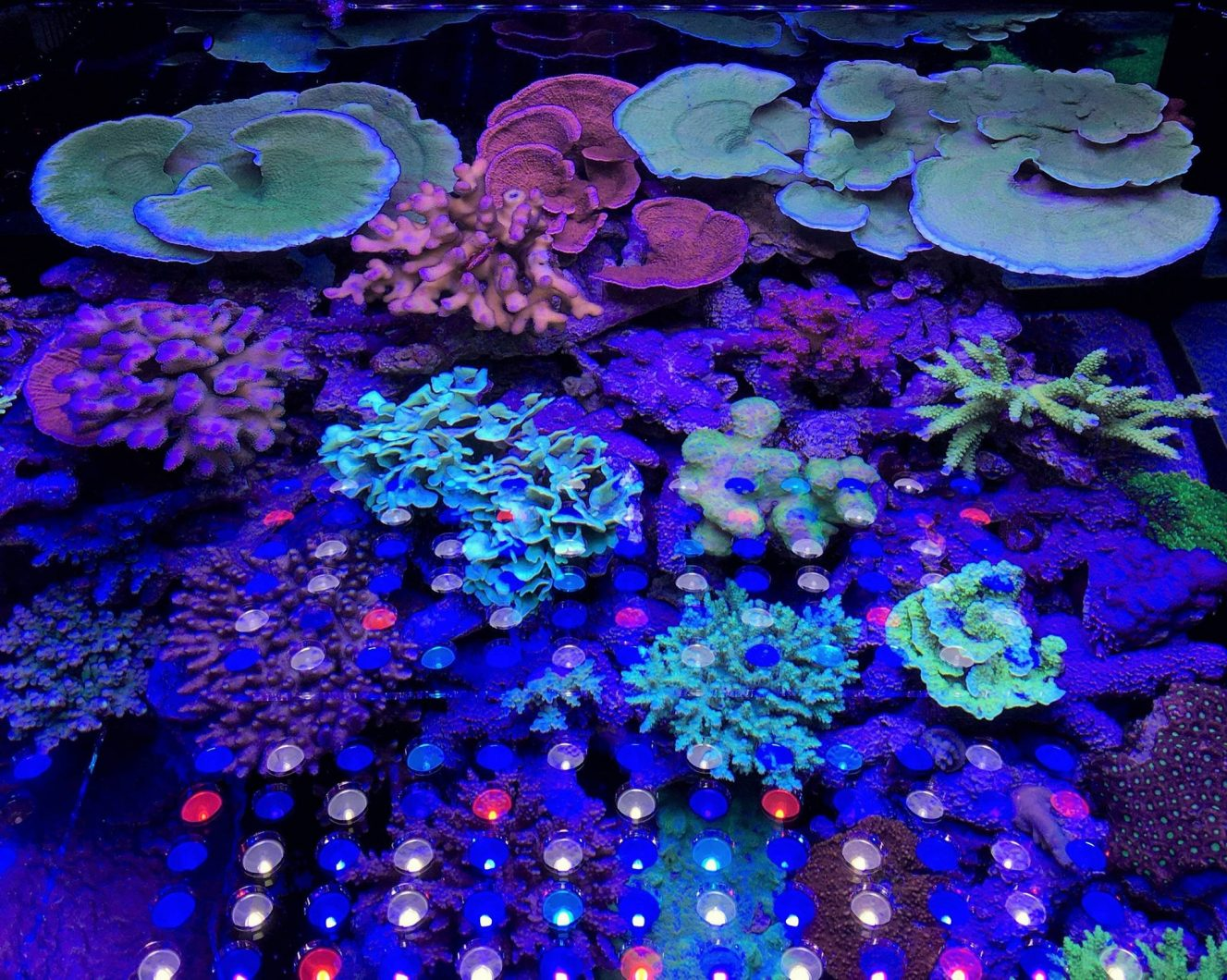 amazing_coral_under_Orphek_v3_plus_LED