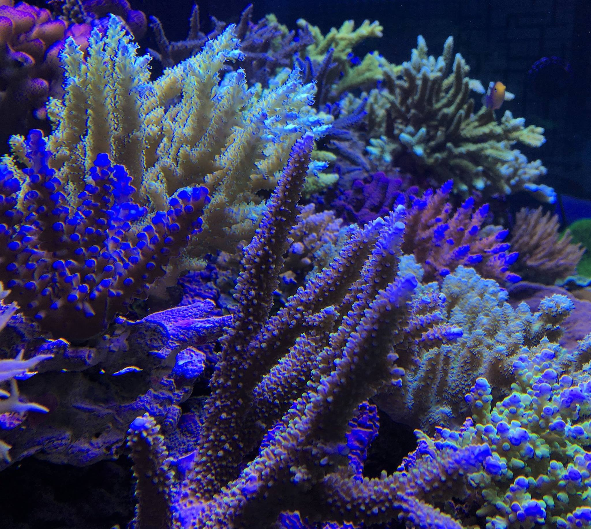 sps_coral_aquarium_orphek_v3_plus