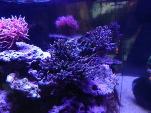orphek-Atlantik-V3-LED-light-reef-aquário