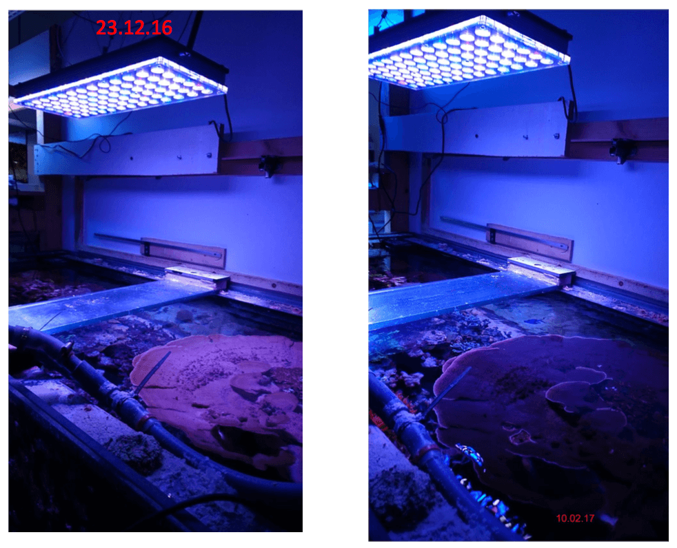 Coral-croissance-Atlantik-v4-Reef-led-Light