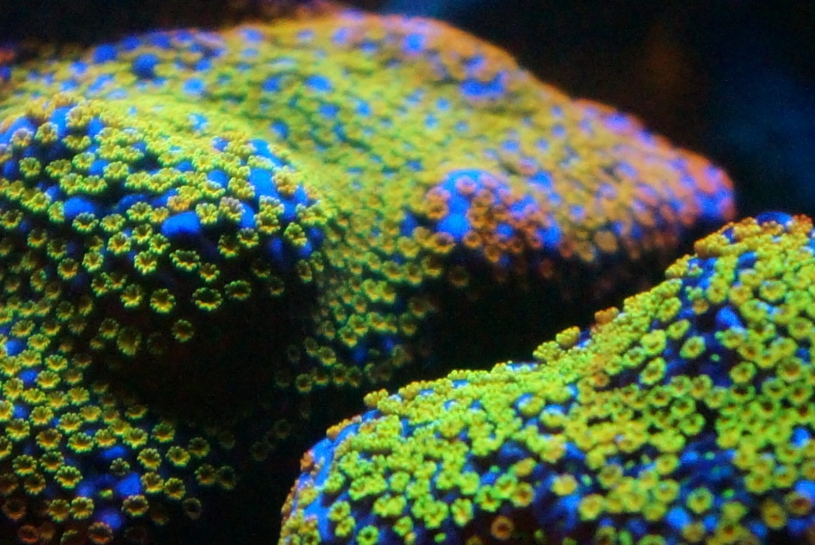 Best_Aquarium_Reef_coral