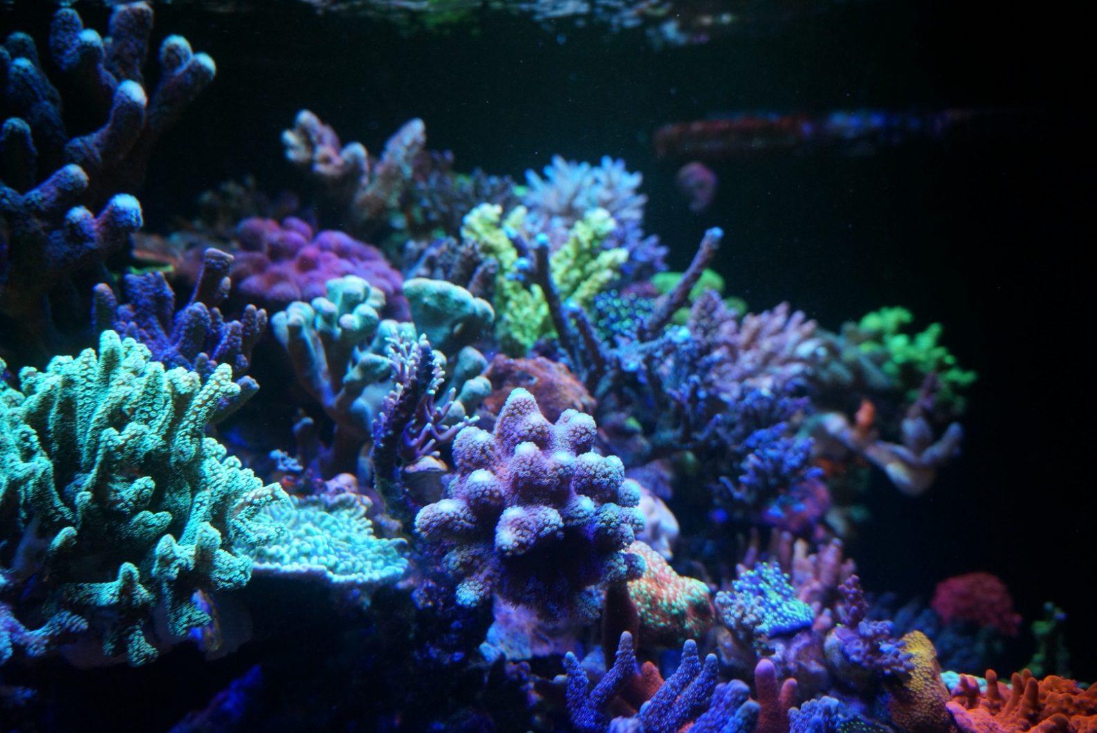 礁水族馆珊瑚-SPS