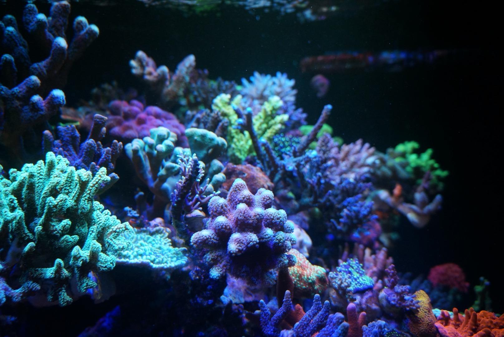 Reef-Akvaryum-Mercan-sps
