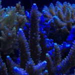blue_sps_coral