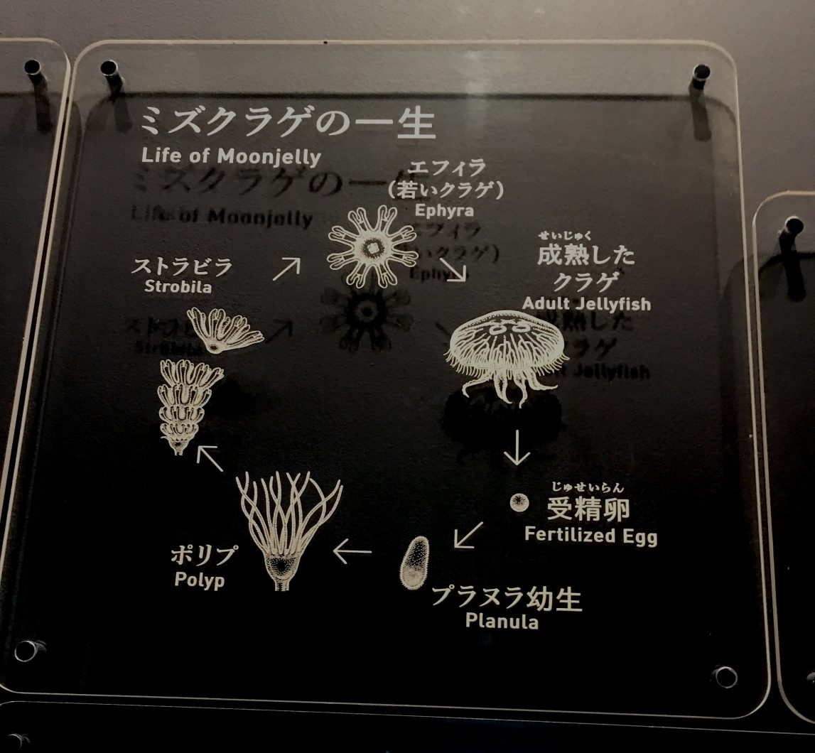 LIfe cycle of a moonjelly