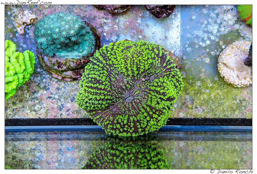 Aquarium-Koralle