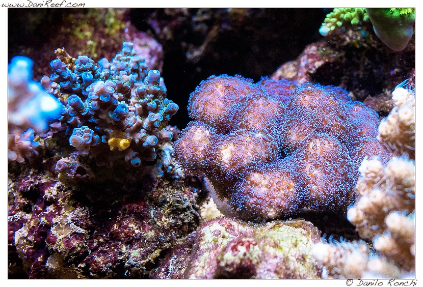sps-blue-coral-Led-Beleuchtung