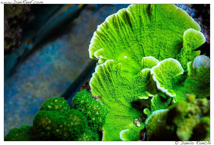 Grüne Koralle-LED-Beleuchtung
