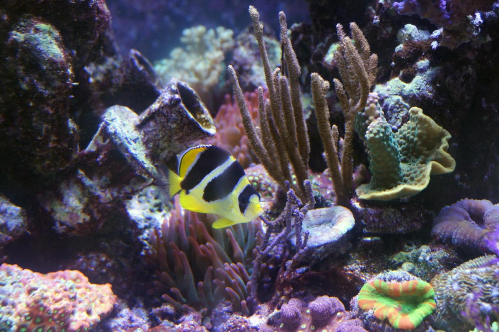 yellow-black-fish-reef-aquarium