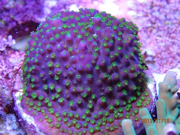 coral-macro-photo-small-polyp-LED-light