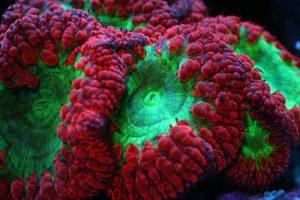 Coral Gallery Under Orphek Reef Aquarium LED