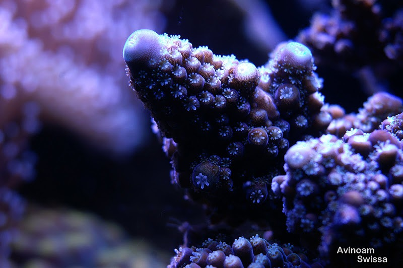 SPS-coral-photos-Orphek-24
