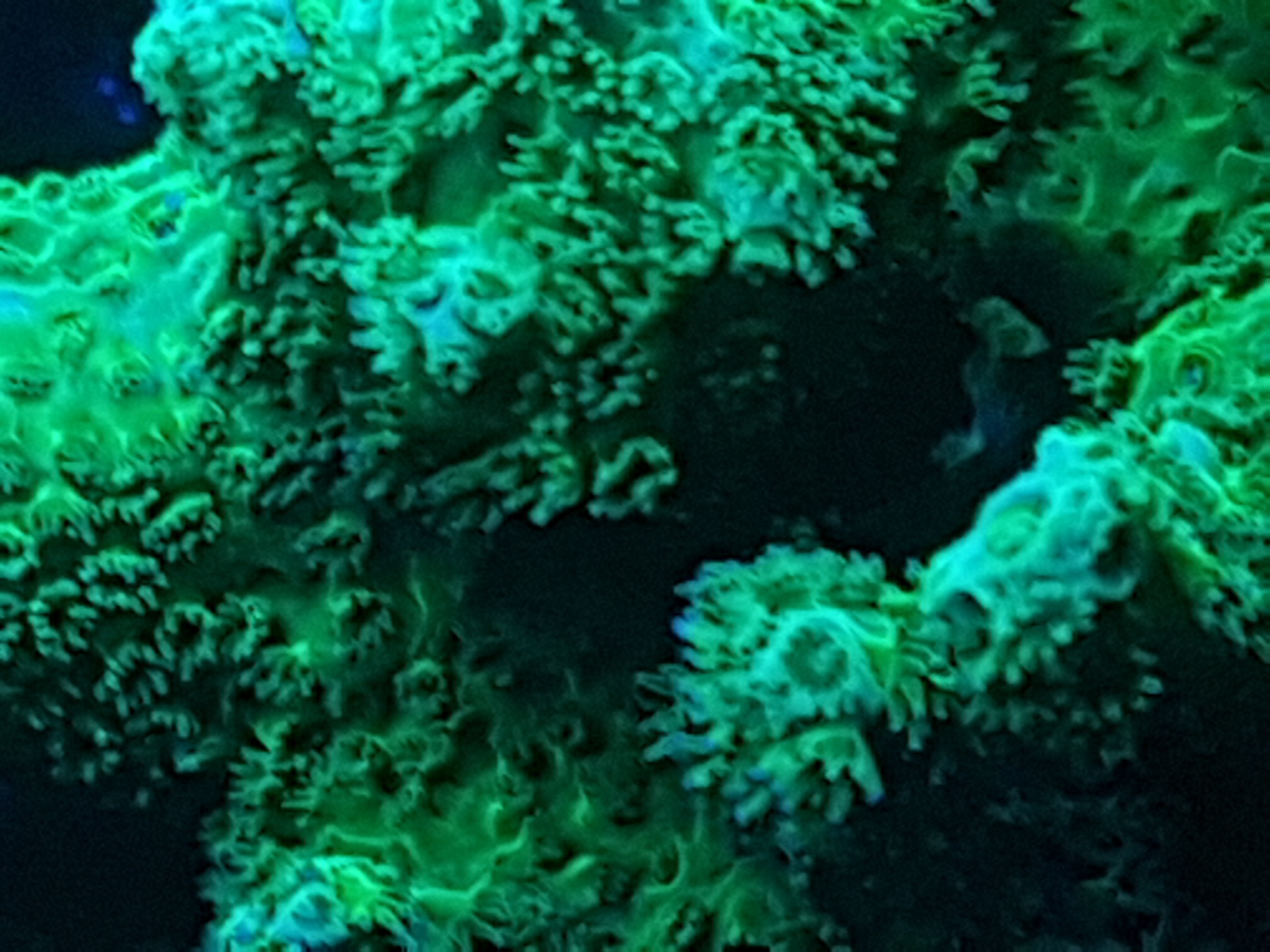 green fluorescent coral