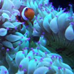 Clownfisch anemone