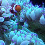 Anémona de clownfish