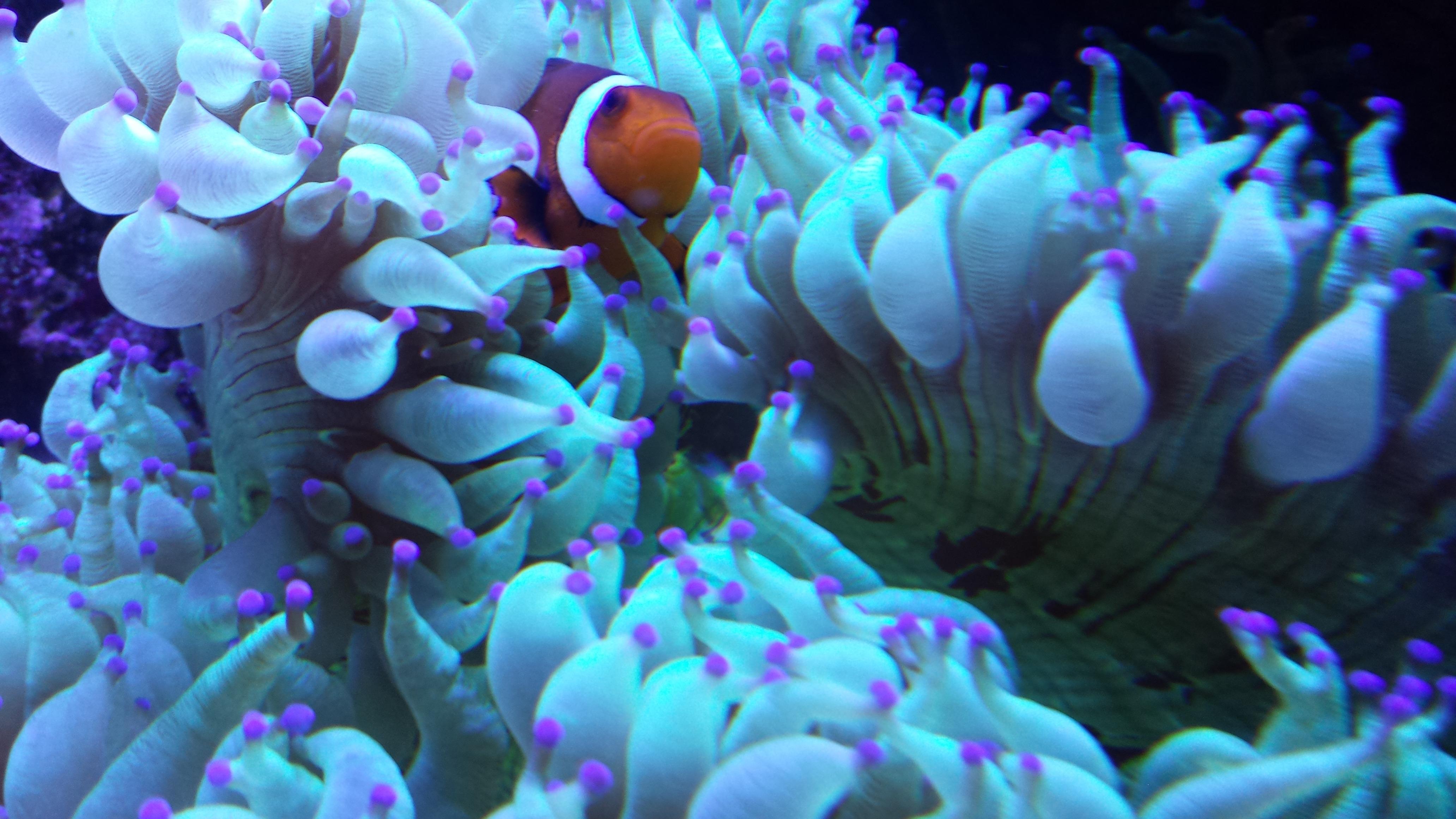 Anémone de clownfish