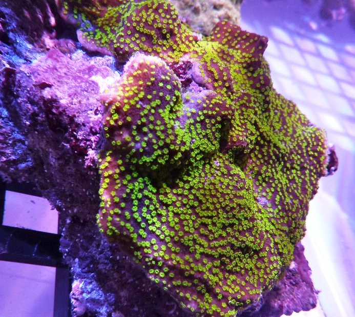 coral farm-frag-reef-led-08