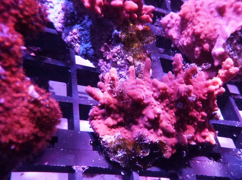 coral farm-frag-reef-led-06