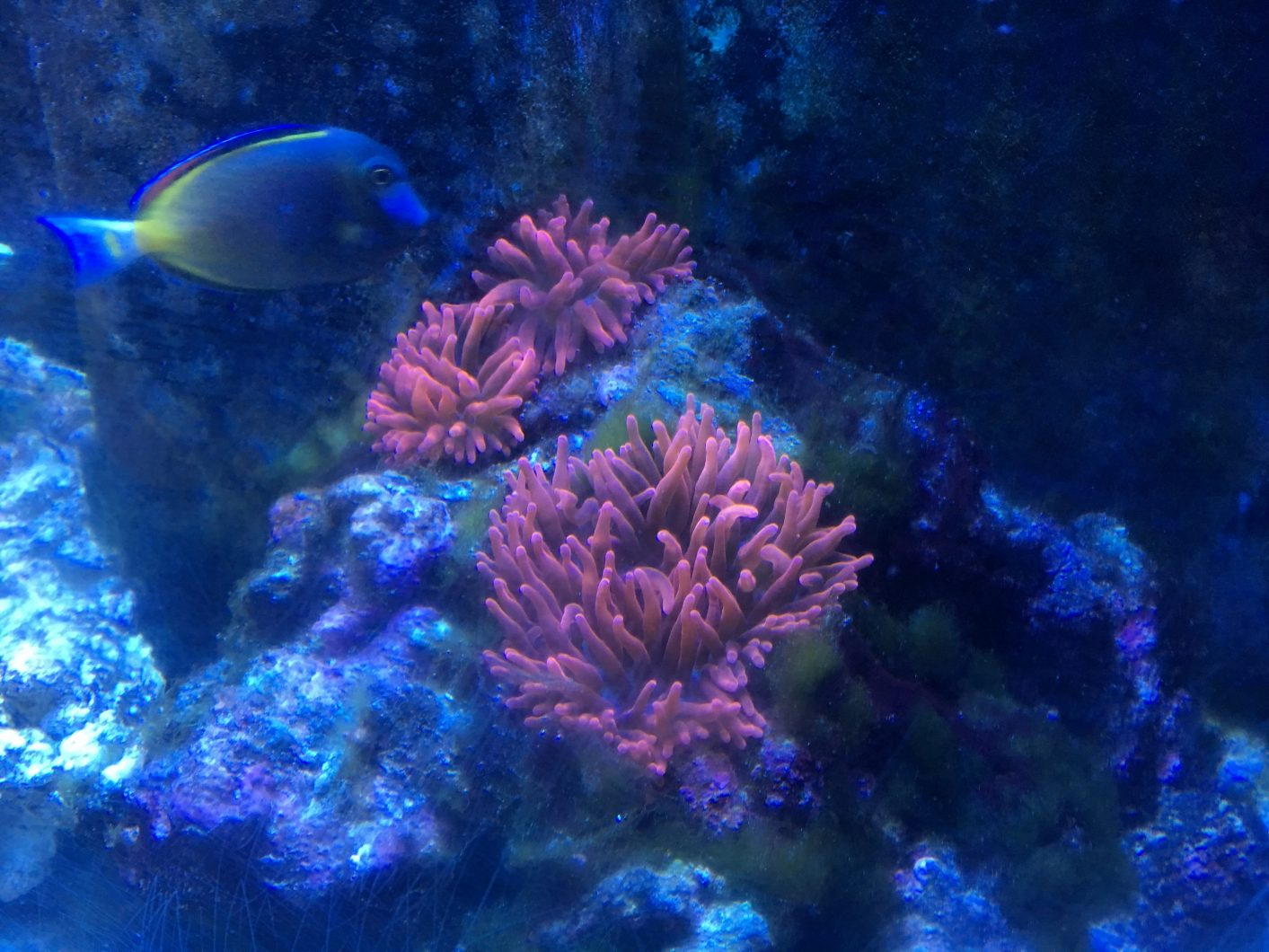 pink purple coral anemone