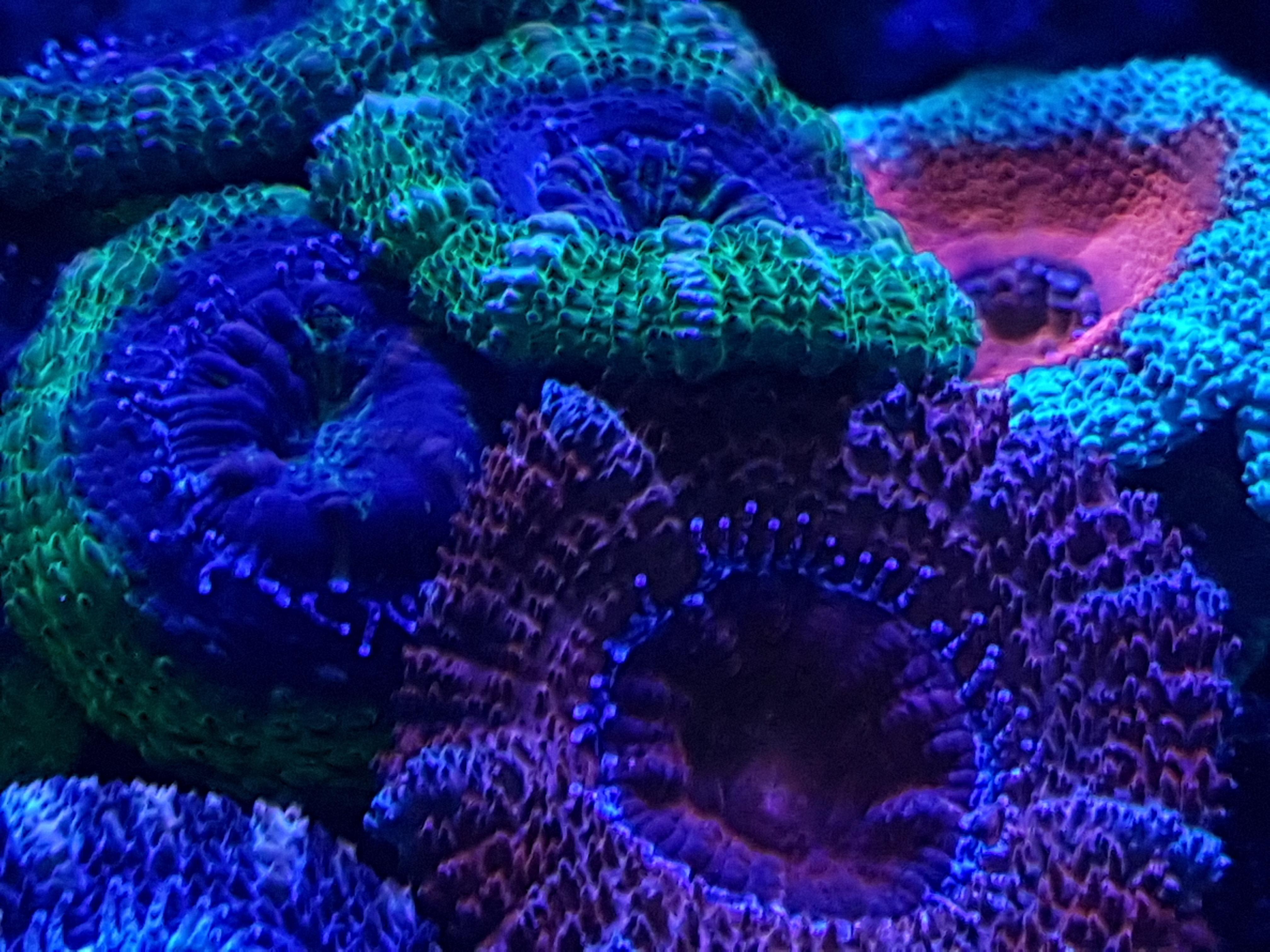 Корали синій флуоресцентні