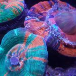 Corals close up LED-ljus