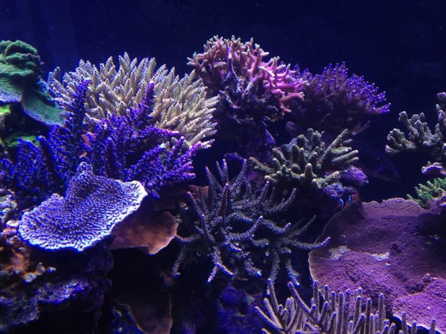 кораллы-orphek рифов
