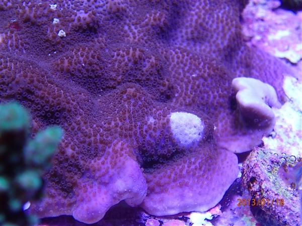 corals-under-PR72-led-lighting-by-orphek