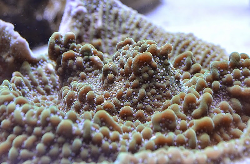 macro photo coral color polyp green