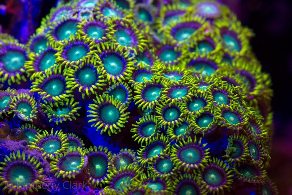 green zoanthid coral led light